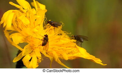 insects drink North the nectar of a flowering tree - macro...