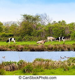 Cows.  Grazing cattle