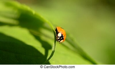 Ladybird opens its wings and folds them back again It sits...