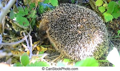 Hedgehog eats a bird in the wild in a forest or garden...