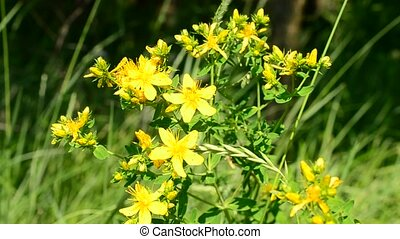 Saint-John's-wort in a meadow on green grass background on a...