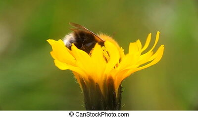 summer Bumble bee insect flower macro - bumblebees on...