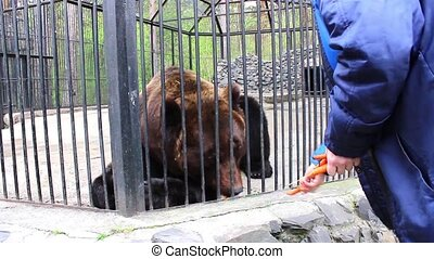 Girl feeding brown bear in a zoo - brown bear eating carrot...