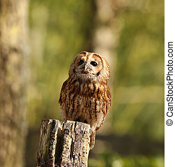 Tawny Owl - Portrait of a Tawny Owl perched on a tree stump