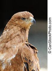 Tawny Eagle - Close up of a Tawny Eagle