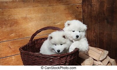 Samoyed puppies dog - Seven months old Samoyed puppies dog...