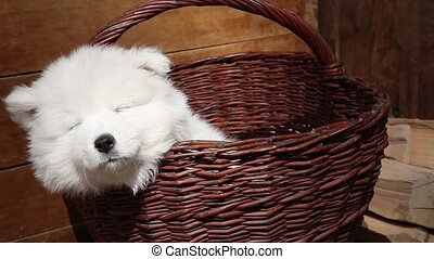 Samoyed puppy dog - Seven months old Samoyed puppy dog...