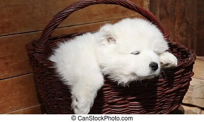 Sleeping Samoyed puppy - Samoyed puppy dog sleeping in the...