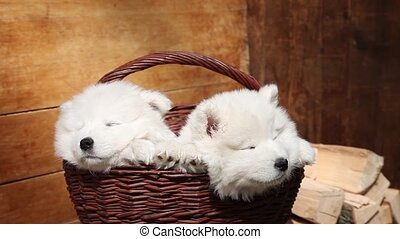 Sleeping Samoyed puppies - Seven months old Samoyed puppies...