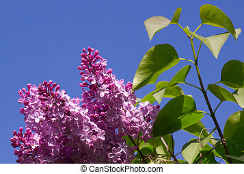 beautiful lilac flowers with the leaves. Beauty world. -...