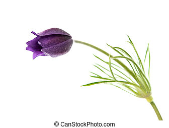 Pulsatilla Patens on a white background