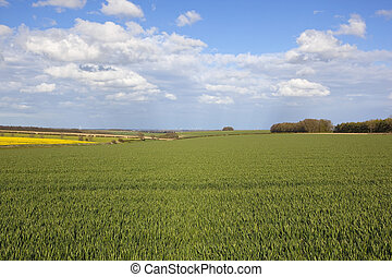 agricultural countryside in the yorkshire wolds - wheat and...