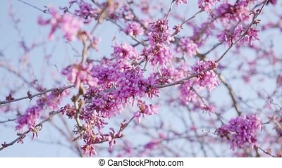 Pretty fresh pink cherry blossom on tree branches