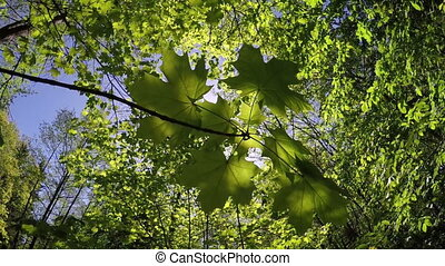The branch of a maple at a the wood background Slow motion