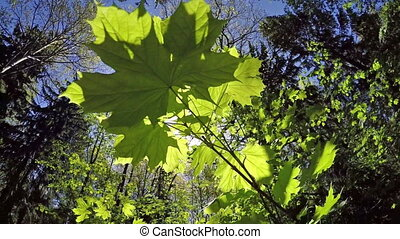 The branch of a maple at a the wood background. Slow motion