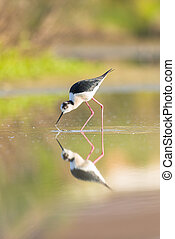Black winged stilt reflecting in a pond