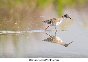 Female Ruff Reflecting - Female ruff reflecting on the blue...