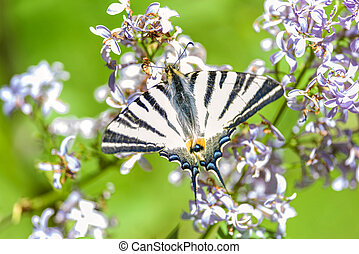Scarce Swallowtail - Scarce swallowtail, butterfly of the...