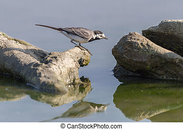 White Wagtail - Little sparrow called white wagtail on a...