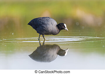 Eurasian Coot - Coot looking for nourishment in a pond