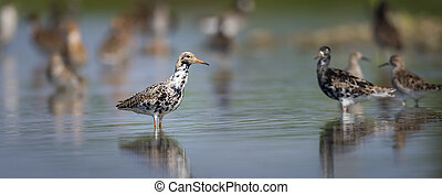 Ruff on a Pond - Ruff on a pond in an oasis of Piedmont