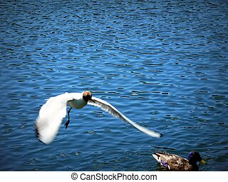 the flying seagull and a duck in river
