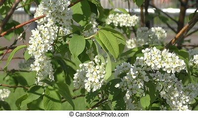 Flowers bird cherry tree swinging in the wind spring morning