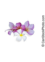Flower on white background - Plumeria flower on white...