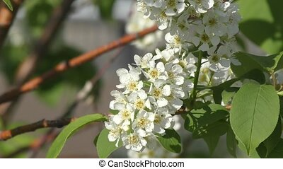 Flowers bird cherry tree swinging in the wind