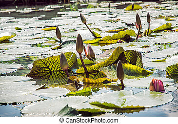 Beautiful water lilies in the garden pond, seasonal natural...