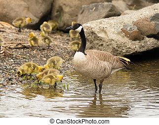 Goose mother Huddled Together Near Chicks Babies - Wild...