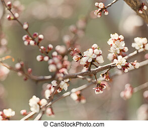 blossom on cherry tree branches - tender blossom on blooming...