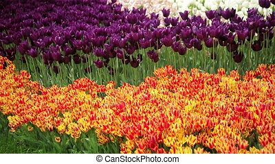 Red and yellow tulips in spring background