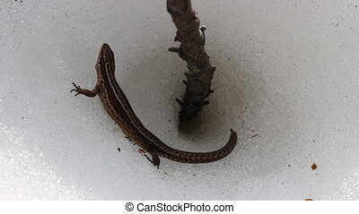 Lizard woke up on warm spring day and climbed on ice surface...