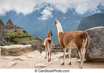 Lama mother with her baby at mountains background in Peru