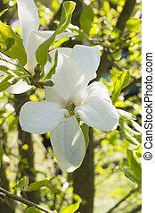 Evergreen Magnolia grandiflora, southern magnolia, Bull bay