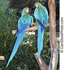 blue and yellow macaw couple fighting in love