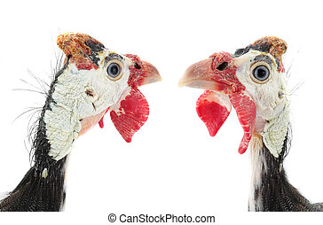 two portrait Guinea fowls (Numida meleagris) isolated on a...