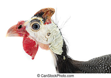 portrait Guinea fowls (Numida meleagris) isolated on a white...