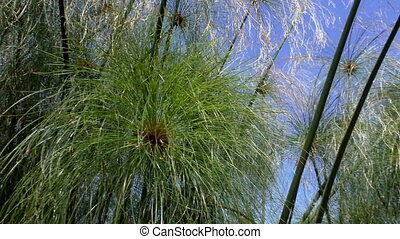 Nile papyrus foliage and sky - Handheld low angle shot from...