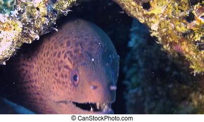 Moray Eel in coral reef Close Up Shot Maldives - Moray Eel...