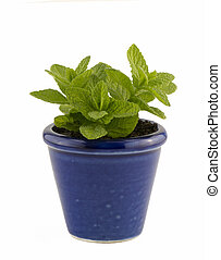 home grown mint in small blue pot isolated on white