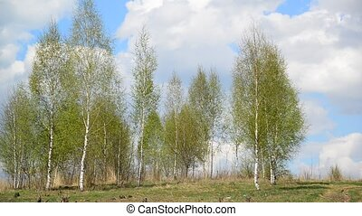 Young birch grove in early spring - Young birch grove in an...