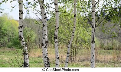 Trunks of young birches in the spring - Young birch grove in...