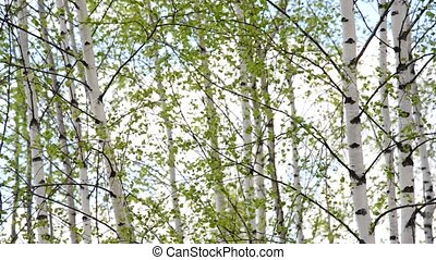birch grove in early spring - Young birch grove in an early...