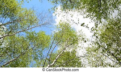 tops of young birches in the spring - Young birch grove in...