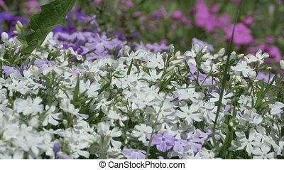 Beautiful Tiny Spring Flowers - White and purple little...