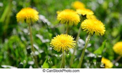 lot of yellow dandelions in meadow