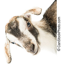baby goat head on a white background