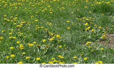 Field of Dandelions in Park - A field full of dandelions in...